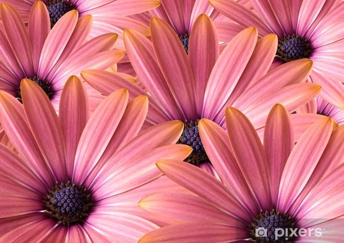 Fototapeta winylowa Osteospermum - Kwiaty