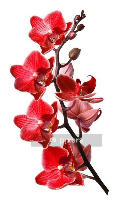Wandtattoo Orchidee Isoliert Auf Weissem Hintergrund Pixers Wir