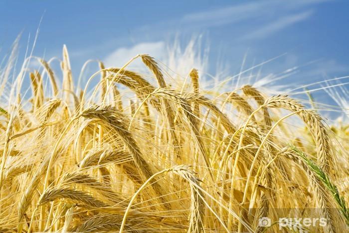Fototapeta winylowa Kłosy jęczmienia - Rolnictwo