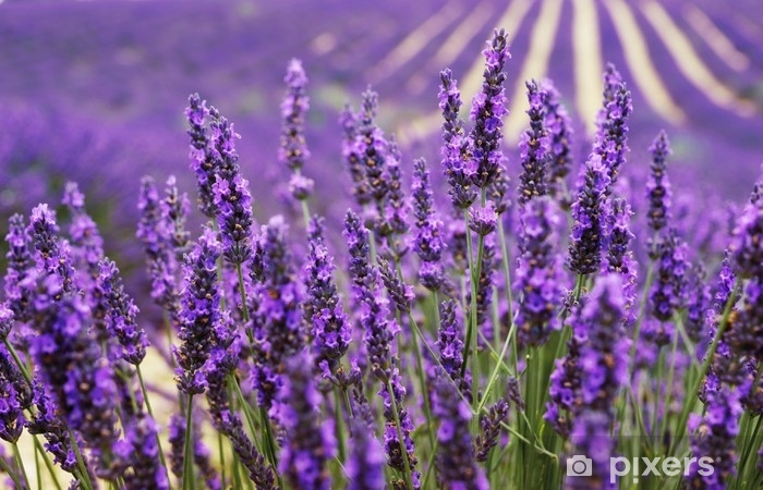 Very Nice View Of The Lavender Fields Provence Lavender Field
