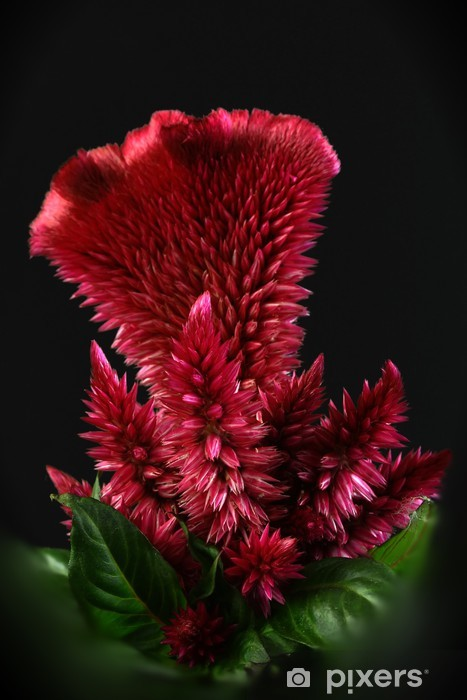 Papier peint vinyle RED CELOSIA - Fleurs
