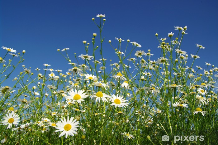 Fototapeta winylowa Rumianek - Kwiaty