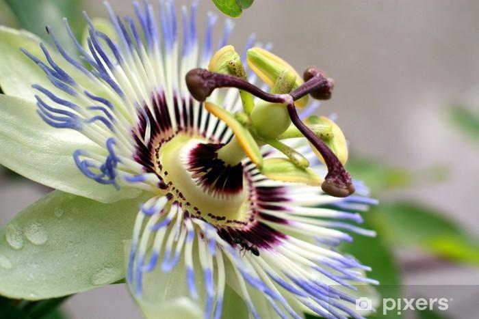 Fototapeta winylowa Męczennica - Kwiaty