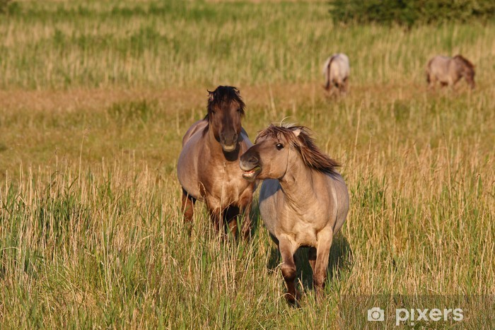 Fototapeta winylowa Dithmarschen Konik konie w Speicherkoog - Ssaki