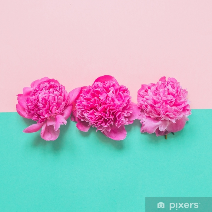Naklejka Pixerstick Trzy pąki piwonii na różowym i turkusowym tle. moda minimalna koncepcja piękna - Rośliny i kwiaty