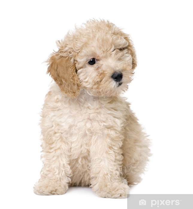 38a7faae809 Fototapeta Pes  apricot toy pudl štěně (10 týdnů) • Pixers® • Žijeme ...