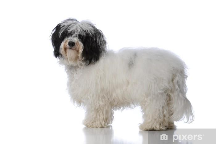 Pixerstick Aufkleber Havanese dog - Säugetiere