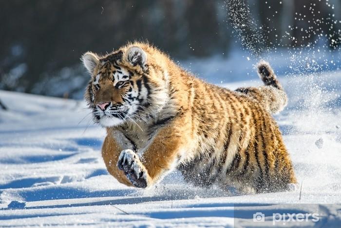 Fototapeta samoprzylepna Tygrys syberyjski w śniegu (panthera tigris altaica) - Zwierzęta