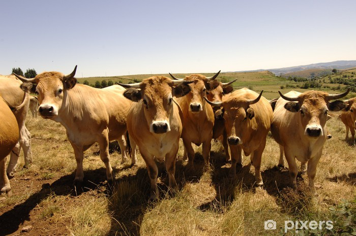 Vinilo Pixerstick Aubrac vaca - Mamíferos