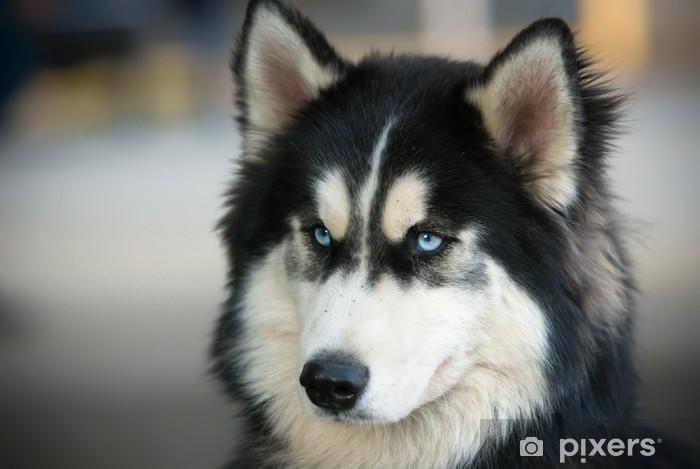 Fototapeta winylowa Husky 3 - Husky