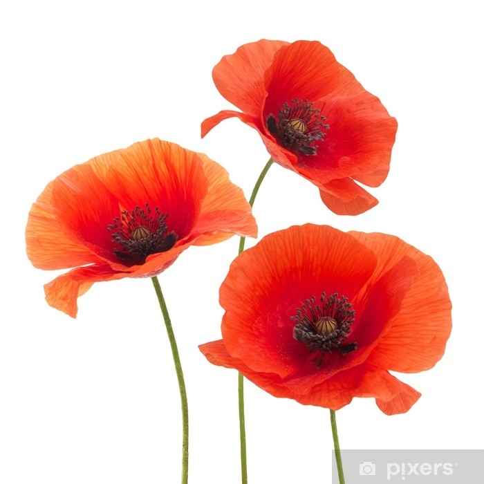Red Poppy Flower Isolated On A White Wall Mural Pixers We