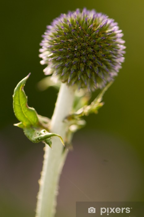 Nálepka Pixerstick Modrý květ bodlák (Echinops) - Květiny