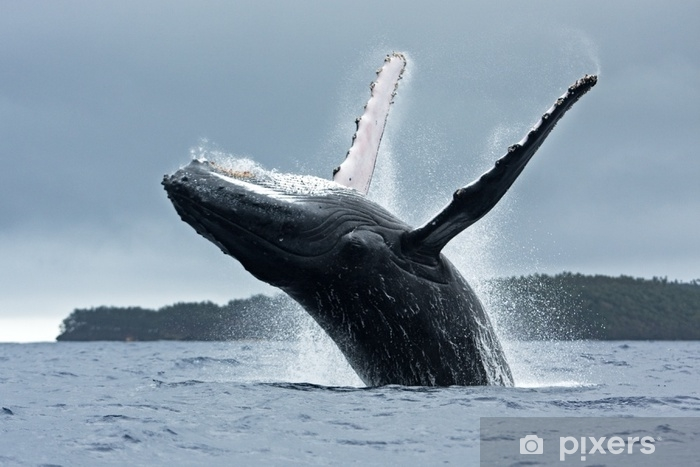 humpback whale, megaptera novaeangliae, Tonga, Vava'u island Vinyl Wall Mural - Animals
