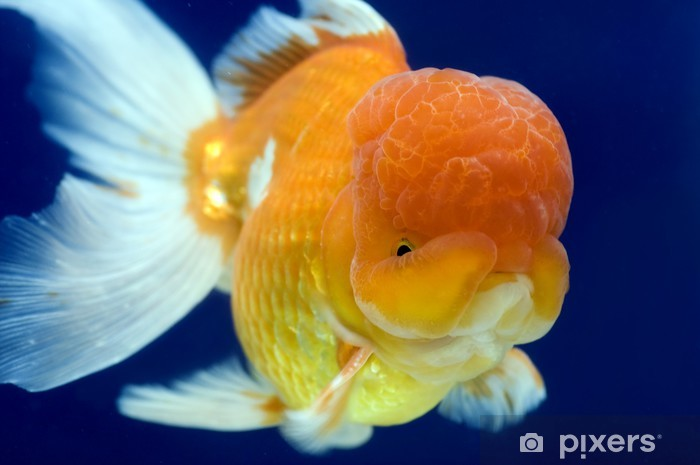 Lion Head oranda goldfish Wall Mural - Vinyl