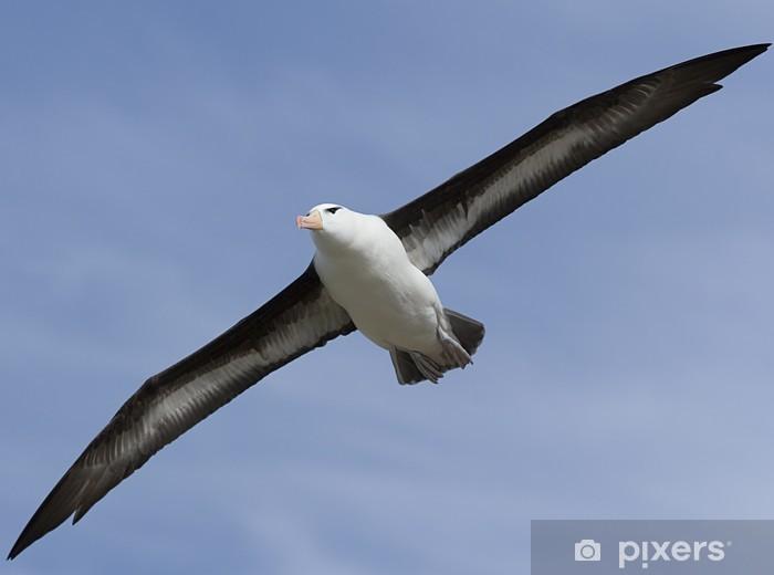 Vinyl-Fototapete Black-browed Albatros (Diomedea melanophris) - Vögel