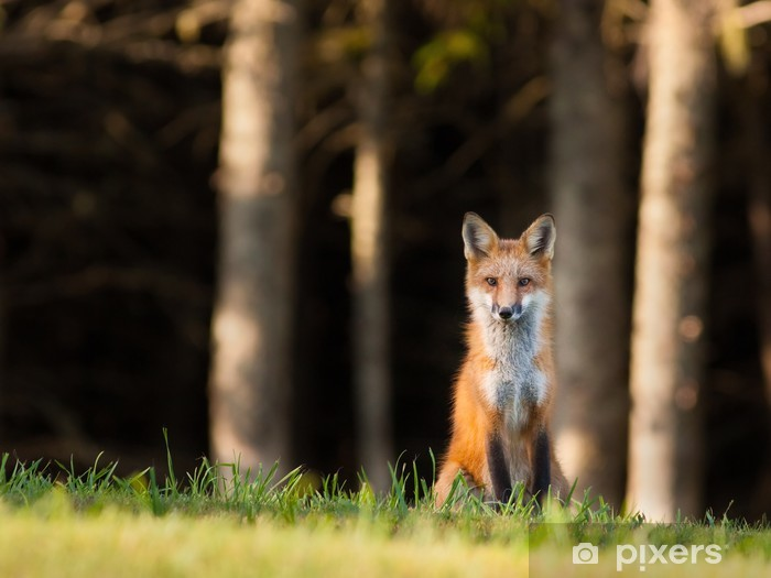 Vinyl Fotobehang Jonge rode vos (Vulpes vulpes) een oogje op de camera - Thema's