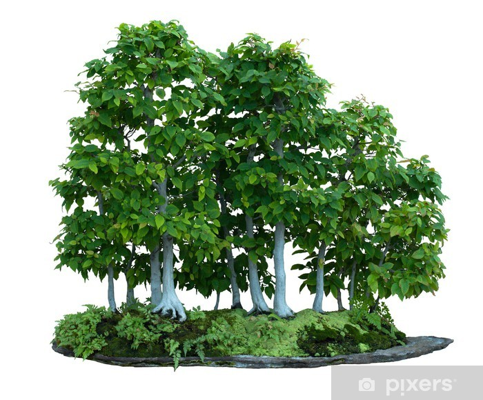 Hornbeam Bonsai Wall Mural Pixers We Live To Change