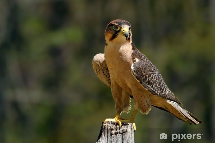 Nálepka Pixerstick Sokol stěhovavý - Ptáci