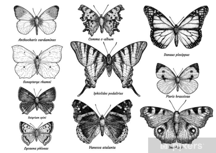 Fototapeta Motyl Sbirka Ilustrace Kresba Rytina Inkoust Linka