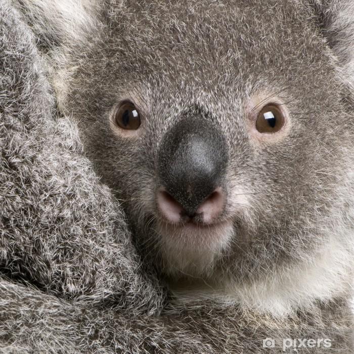 Poster Close-up der Koalabär, Phascolarctos cinereus, 9 Monate alt - Themen