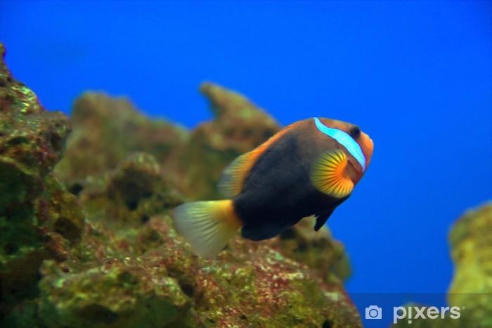 Fototapeta winylowa Ocellaris Clownfish (Amphiprion ocellaris) - Zwierzęta żyjące pod wodą