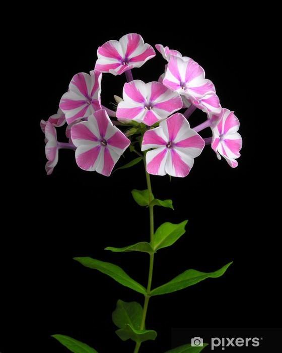 Fototapeta winylowa 'Peppermint Twist' Phlox paniculata - Kwiaty