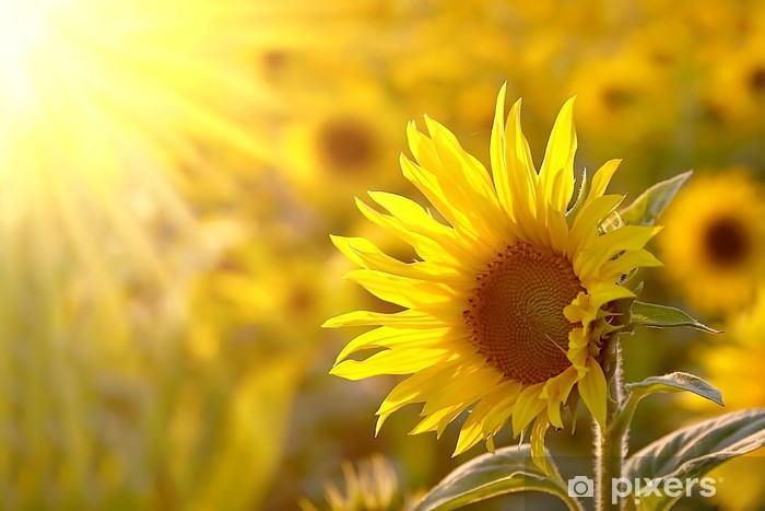 Sunflower on a meadow in the light of the setting sun Vinyl Wall Mural - Themes