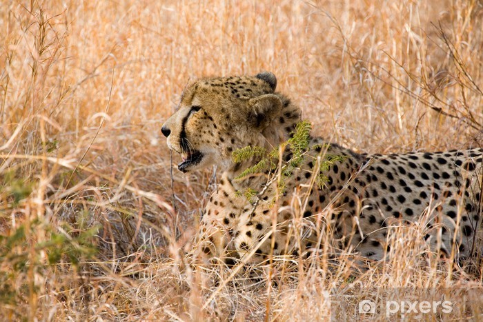 Cheetah In The Grass In South Africa Wall Mural Vinyl
