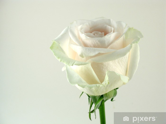 Carta Da Parati Rosa Bianca : Carta da parati rosa bianca in primo piano u2022 pixers® viviamo per