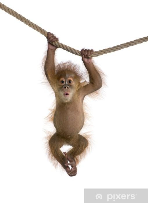 Fototapeta winylowa Dziecko Sumatran Orangutan (4 miesiące), wiszące na liny - Naklejki na ścianę