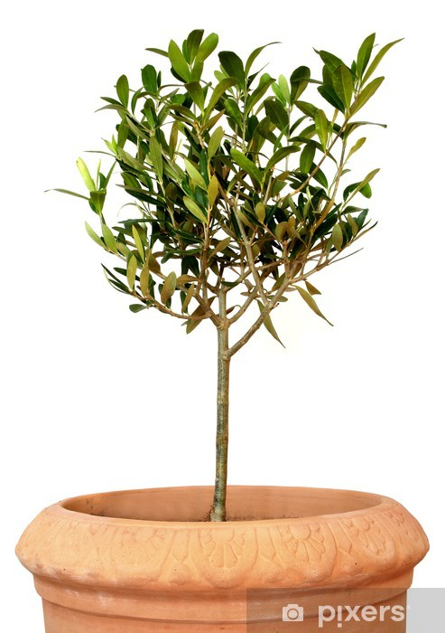 young olive tree in pot Vinyl Wall Mural - Trees