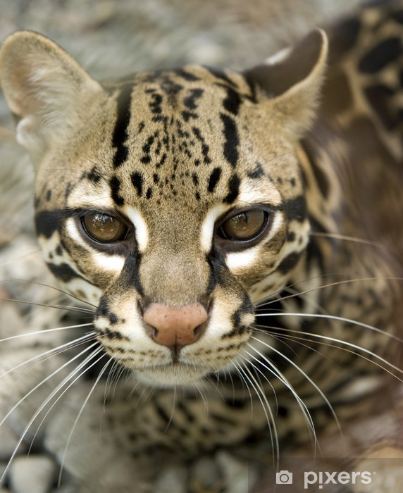 Beautiful Ocelot Or Tigrillo Or Leopardus Pardalis Or