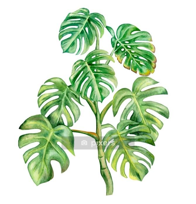 Duvar Çıkartması Beyaz arka plan üzerinde izole yeşil monstera yaprağı. el suluboya illüstrasyon boyalı. gerçekçi botanik sanatı. şablon - Çiçek ve bitkiler