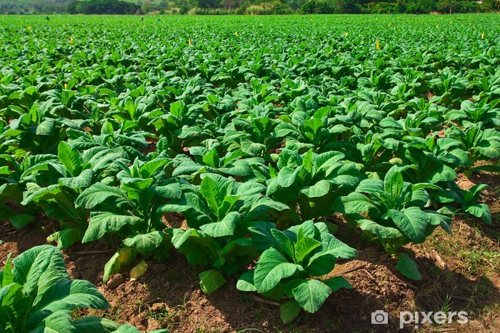 Vinyl Fotobehang Aanplant tabak in Noord-Thailand - Huis en Tuin