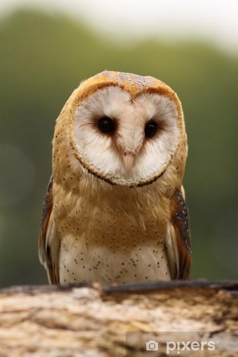Barn owl Pixerstick Sticker - Themes
