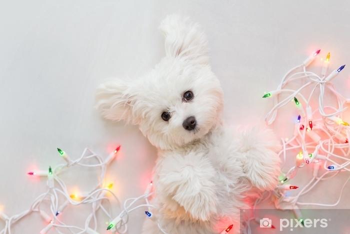 Fototapeta winylowa Maltański szczeniak zawinięty w światła Bożego Narodzenia. - Zwierzęta