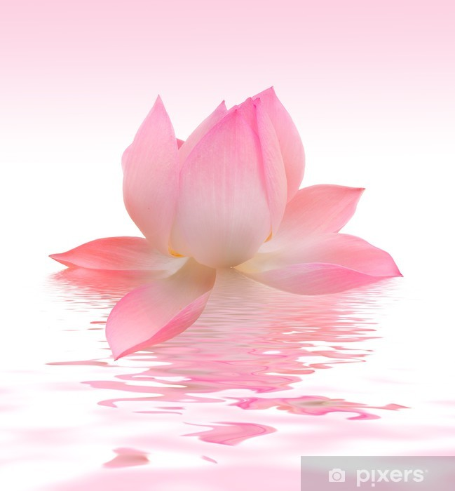 Fototapeta winylowa Lotos - Kwiaty
