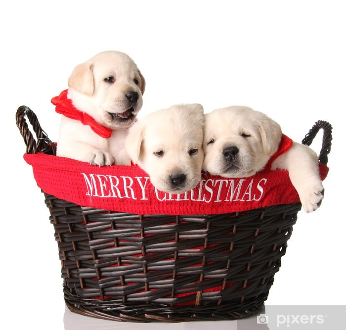 Christmas Puppies.Three Christmas Puppies Wall Mural Vinyl
