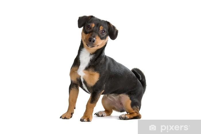 Papier peint vinyle Noir et brun chien Jack Russel Terrier - Mammifères