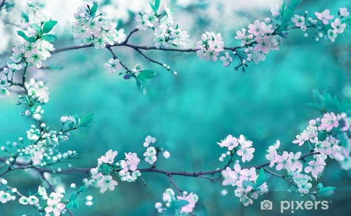 Beautiful Spring Floral Background With Branches Of Blossoming Cherry Soft Focus Frame Of Pink Sakura Flowers In Spring Close Up Macro On A Turquoise Background Outdoors In Nature Wall Mural Pixers