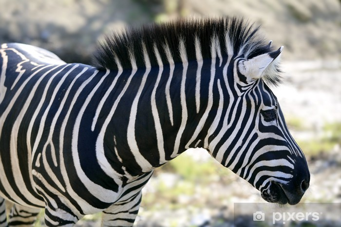 Naklejka Pixerstick Piękne african Zebra outdoor - Tematy