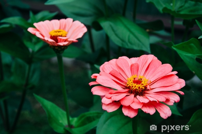 flower, nature, garden, red, pink, plant, flora, bloom, zinnia, green, summer, flowers, yellow, blossom, beauty, floral, macro, petal, petals, dahlia, daisy, color, spring, blooming, bright Pixerstick Sticker - Plants and Flowers