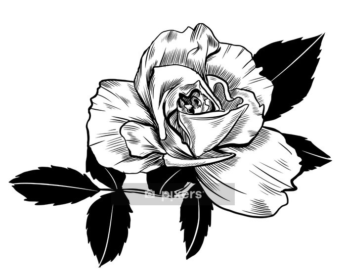 Rose drawing Wall Decal - Flowers