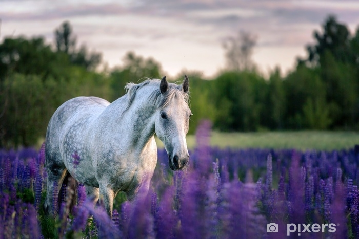 Afwasbaar Fotobehang Portret van een grijs paard tussen lupinebloemen. - Dieren