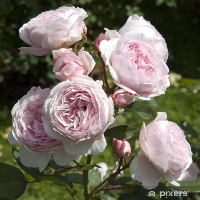 Naklejka Pixerstick English Rose, Geoff Hamilton - Kwiaty