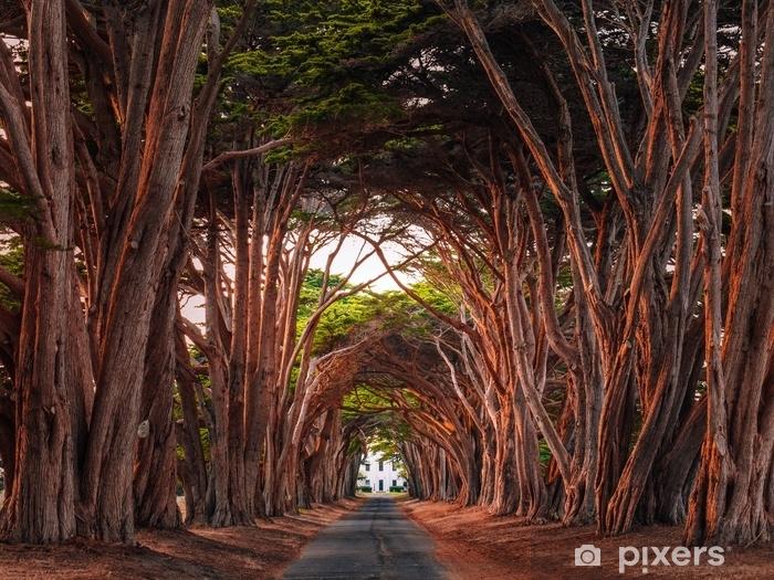 Fototapeta zmywalna Olśniewający cyprysowy drzewny tunel przy punktu reyes krajowym seashore, California, zlani stany. drzewa zabarwione na czerwono przy świetle zachodzącego słońca. - Krajobrazy
