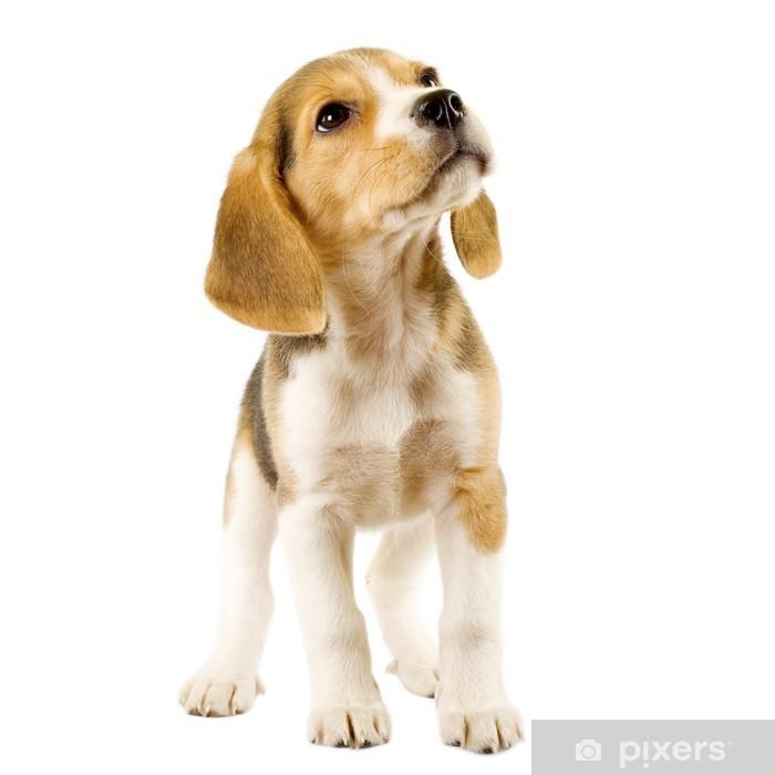 Vinyl Fotobehang Nieuwsgierig beagle puppy - Zoogdieren
