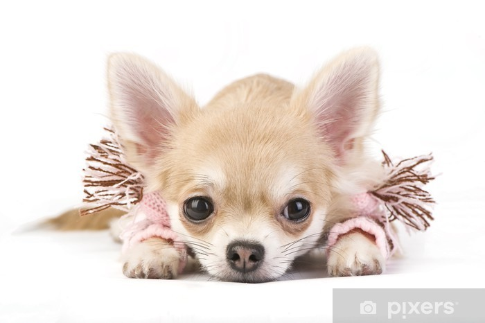 Cute Chihuahua Puppy In A Pink Scarf Throw Pillow Pixers We Live To Change