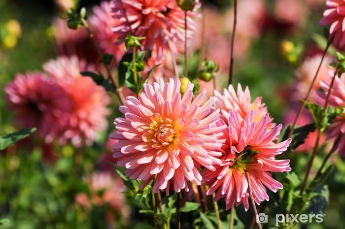 Aufkleber Lila Dahlia Im Schatten Schöne Blumen Im Garten Sommer