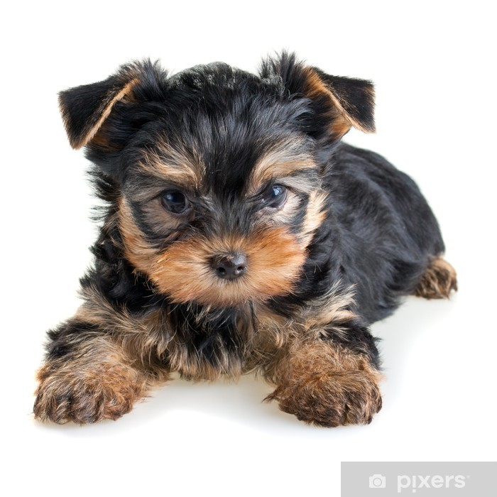 Fotomural Lavable Yorkshire terrier cachorro - iStaging